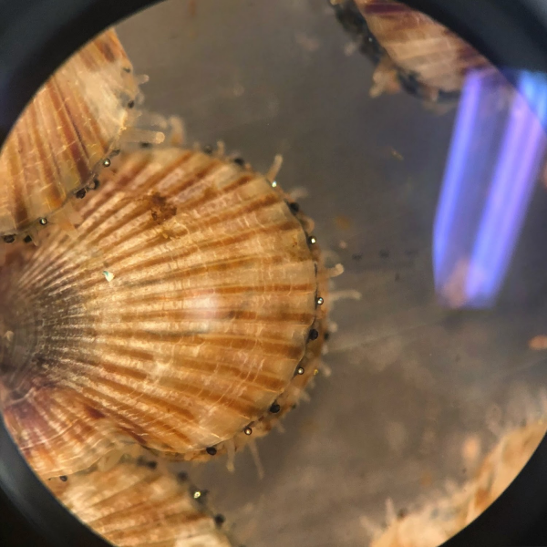 Bay Scallop Seed